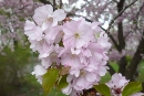 Kirschblüten, Foto: judo-babelsberg.de